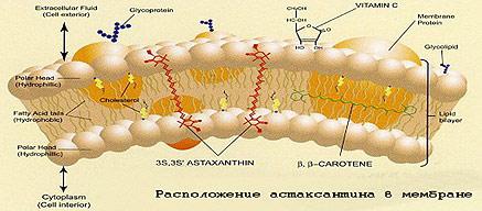Астаксантин - мощный антиоксидант на страже Вашей молодости